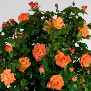 Rosa rampicante Orange Star profumata con grande bocciolo | Vivailazzaro.it