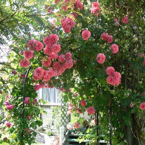 The Queen Elisabeth rosa rampicante   Vivailazzaro.it