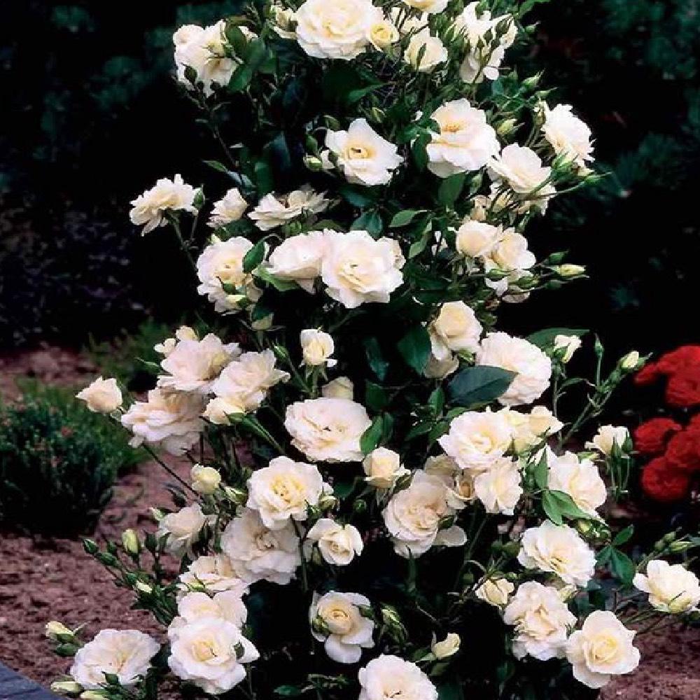 Rosa rampicante e molto fiorente Virgo bianco | Vivailazzaro.it