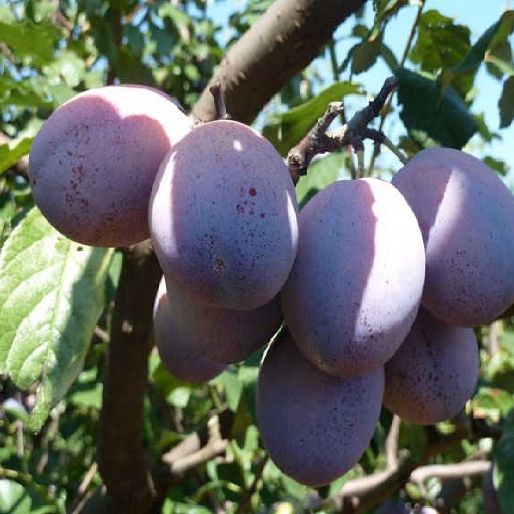 Susino Stanley è un albero di media vigoria   Vivailazzaro.it