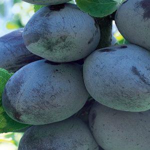 Susino Blue free albero da frutta di buona produttività | Vivailazzaro.it