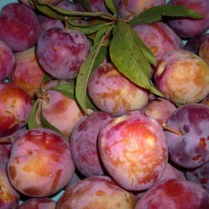 Susino Formosa produce frutti di pezzatura medio-grossa | Vivailazzaro.it