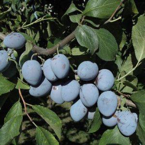 Susino Stanley è un albero di media vigoria | Vivailazzaro.it