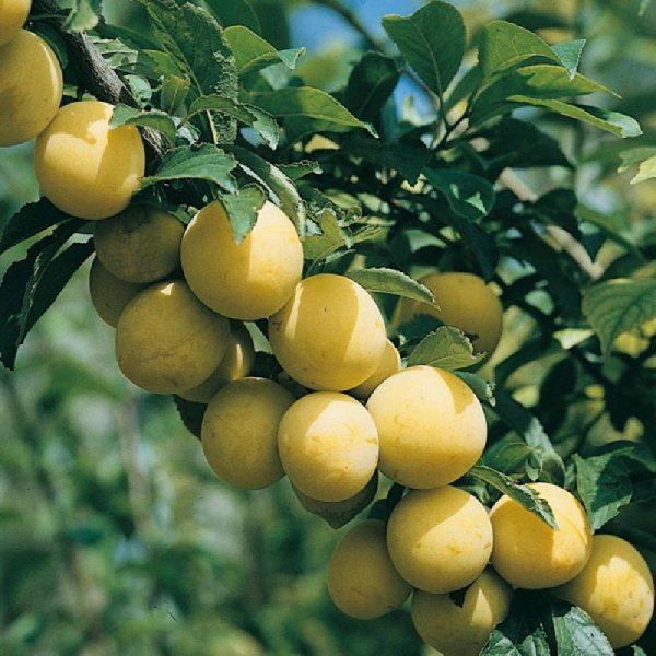 Susino Regina C. Gialla albero di vigoria elevata a portamento eretto | Vivailazzaro.it