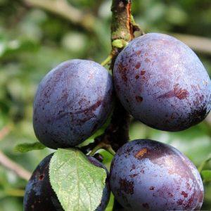 Susino Regina C. Violetta pianta da frutto autofertile | Vivailazzaro.it