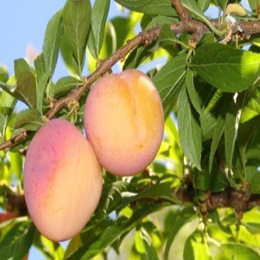 Susino Sorriso di Primavera produce frutti di pezzatura medio-piccola | Vivailazzaro.it