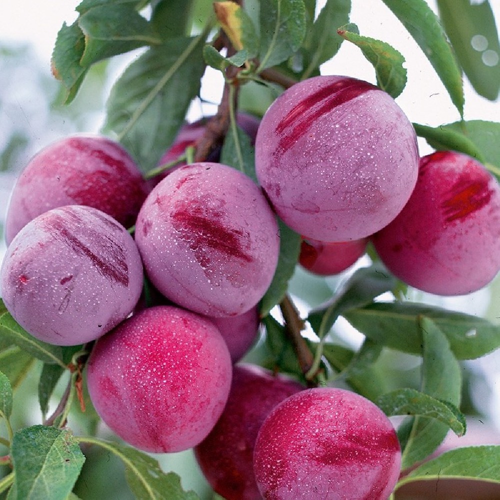 Pianta da frutto Susino Santa Rosa con frutti di grossa pezzatura | Vivailazzaro.it