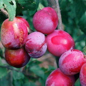 Susino Sangue di Drago antica varietà con polpa rosso intenso | Vivailazzaro.it