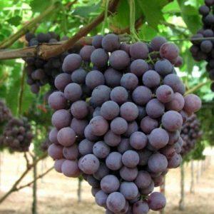 Uva Ecologica Francese nera varietà dal grappolo e acino medio grande | Vivailazzaro.it