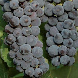 Produzione di viti di Uva Fragola nera | Vivailazzaro.it