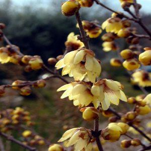 Arbusto Calicantus dai bei fiori dorati | Vivailazzaro.it