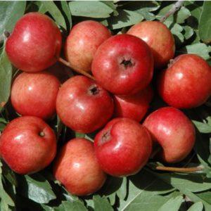L'Azzeruolo Rosso è una pianta di media vigoria che produce frutti simili ad una piccola mela | Vivailazzaro.it