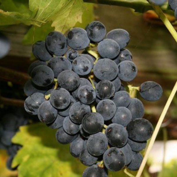 Moscato d'Adda vitigno di notevole produttività | Vivailazzaro.it