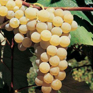 Uva Fragola bianca dalla polpa carnosa e croccante | Vivailazzaro.it