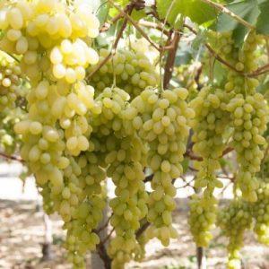 Vendita del vitigno Apirena Bianca di buona vigoria e discreta produzione Vivailazzaro.it
