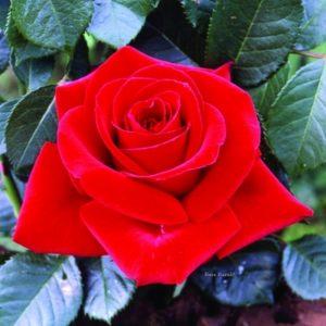 Rosa Dama di Cuori ad alberello con fiori grandi | Vivailazzaro.it