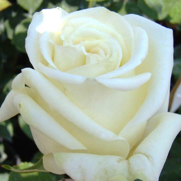 Rosa rustica Virgo ad alberello | Vivailazzaro.it