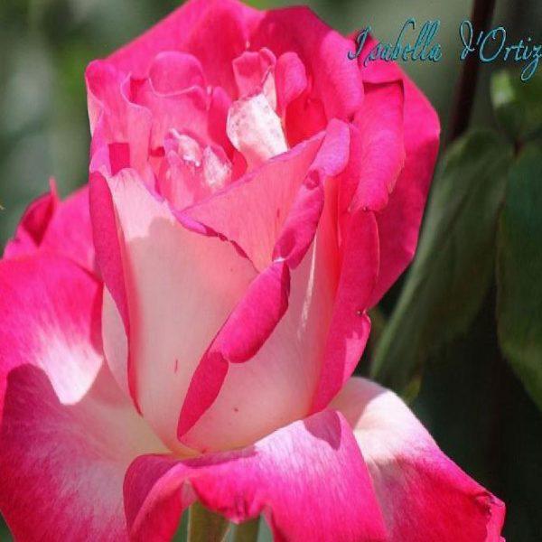 Umbrella rosebushes Rosa Isabella d' Ortiz | Vivailazzaro.it