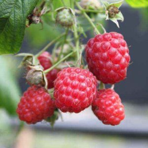 Arbusto molto produttivo Lampone rosso Rubus Idaeus | Vivailazzaro.it