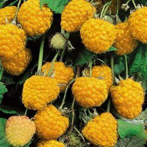 Arbusto da frutto molto resistente Lampone giallo Rubus Idaeus | Vivailazzaro.it