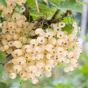 Arbusto da frutta Ribes bianco Ribes Rubrum | Vivailazzaro.it
