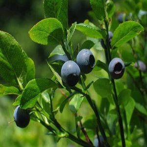 Arbusto da frutta Mirtillo americano Vaccinium corymbosum | Vivailazzaro.it