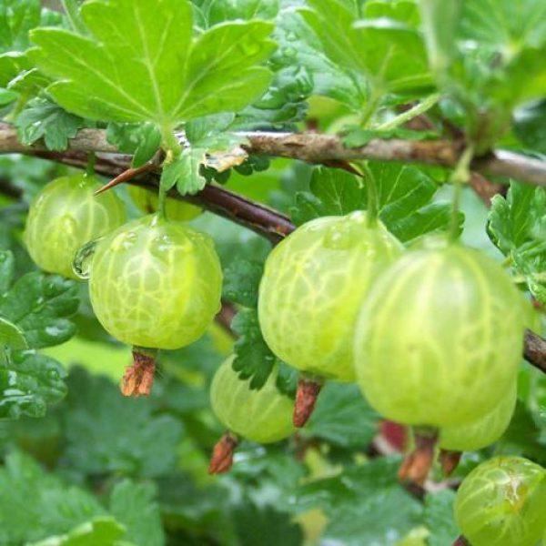 Arbusto da frutto Uva Spina Bianca | Vivailazzaro.it