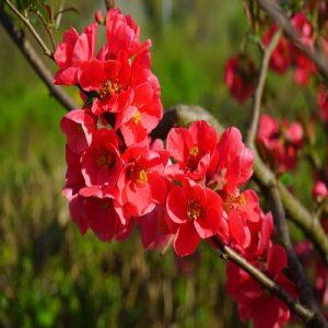 Arbusto da fiore Cydonia Japonica | Vivailazzaro.it