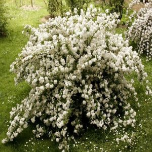Arbusto da fiore Deutzia | Vivailazzaro.it
