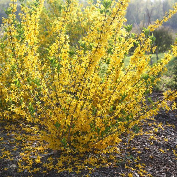 Arbusto da fiore Forsythia | Vivailazzaro.it