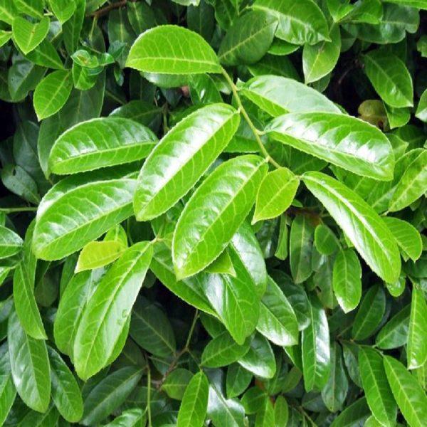 Il V è un arbusto sempreverde con foglie grandi verdi brillante | Vivailazzaro.it