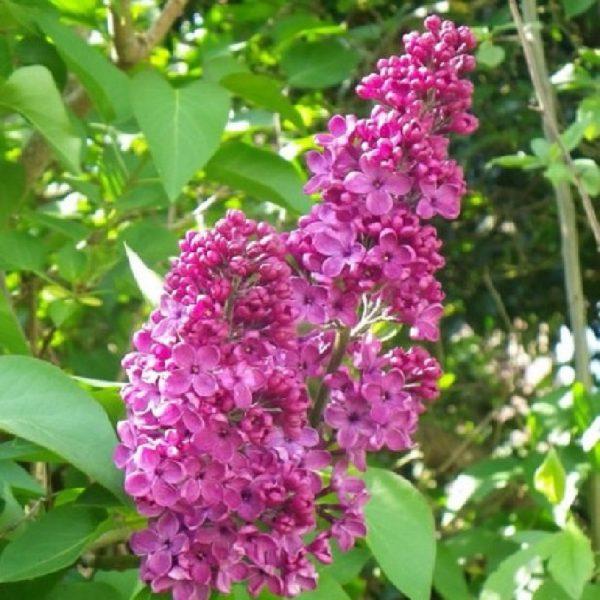 Lillà arbusto a tronchi molteplici | Vivailazzaro.it
