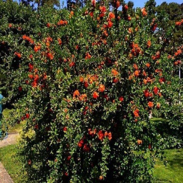 Melograno piccolo arbusto da fiore | Vivaliazzaro.it