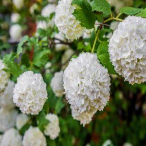 Arbusto da fiore Viburnum Opulus | Vivailazzaro.it