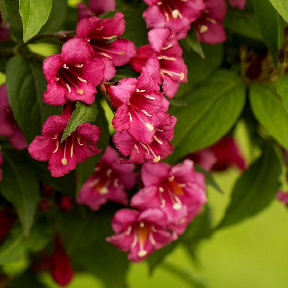 Arbusto da fiore