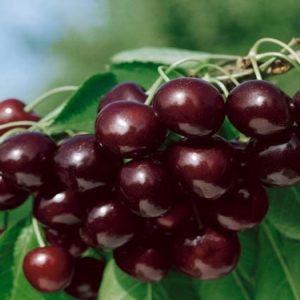 Ciliegio Mora di Cazzano è una pianta vigorosa a portamento espanso con produttività media Vivailazzaro.it