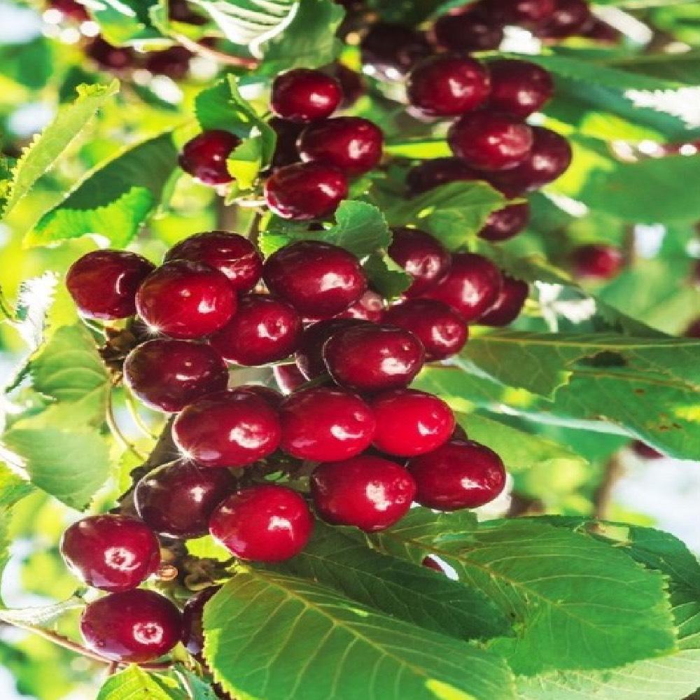 Ciliegio Amarena è una pianta che si adatta facilmente ad ogni clima e non ha bisogno di particolari attenzioni | Vivailazzaro.it
