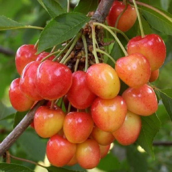 Ciliegio Bigarreau Napoleon è una pianta molto produttiva | Vivailazzaro.it