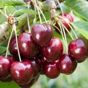 Ciliegio Lapins è una pianta di vigoria media a portamento espanso o semiretta, molto produttiva | Vivailazzaro.it