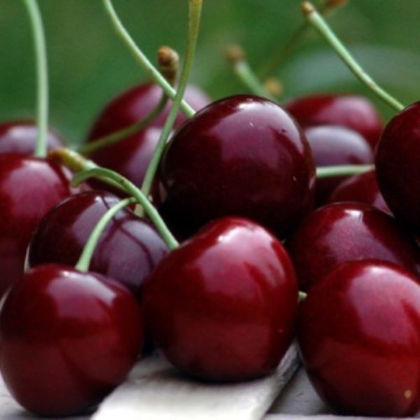 Ciliegio Stella è una pianta che produce frutti di grossa pezzatura | Vivailazzaro.it