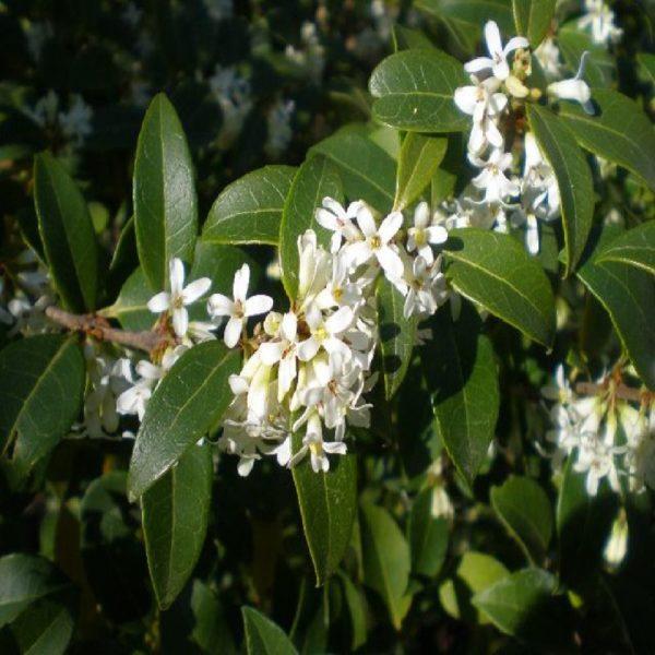 Osmanto è una pianta da siepe che produce una profumatissima fioritura primaverile | Vivailazzaro.it