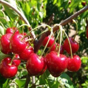 Ciliegio durone dell'Anella è una pianta di media vigoria e produttività costante. | Vivailazzaro.it