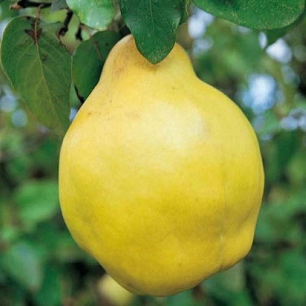Pero cotogno è un albero di piccole dimensioni che raramente supera i quattro metri d'altezza | Vivailazzaro.it