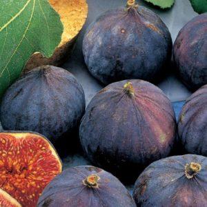 Fico Brogiotto Nero è una pianta di media vigoria che non supera i 4 metri di altezza. Produttività alta e costante | Vivailazzaro.it