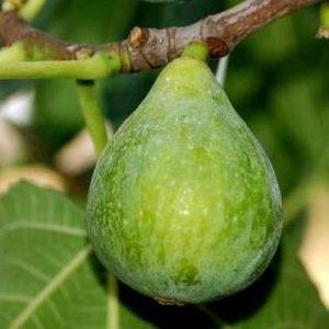 Fico Dottato Bianco è una pianta poco vigorosa a portamento espanso | Vivailazzaro.it