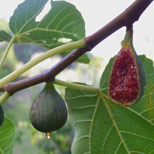 Fico Verdino è un albero vigoroso e a portamento aperto e
