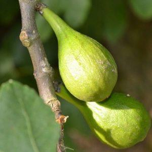 Fico Segalino è una pianta di media vigoria a portamento espanso | Vivailazzaro.it