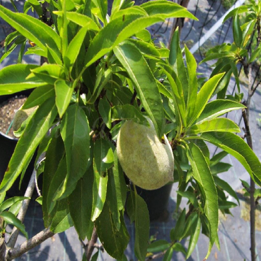 Il Mandorlo nano è una tipologia di pianta, con sviluppo limitato | Vivailazzaro.it