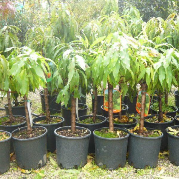 Percocca nana è una pianta da frutto che puòvivere in vaso | Vivailazzaro.it