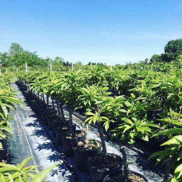 Il Pesco nano è una pianta da frutto ideale per i piccoli spazi | Vivailazzaro.it